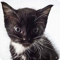 Domestic Shorthair Kitten for adoption in Fort Lauderdale, Florida - Chicken