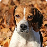 Adopt A Pet :: Snickers Webster - Waldorf, MD