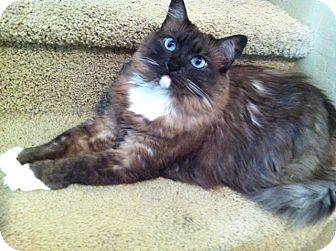 Ragdoll Cat for adoption in Gilbert, Arizona - Coco