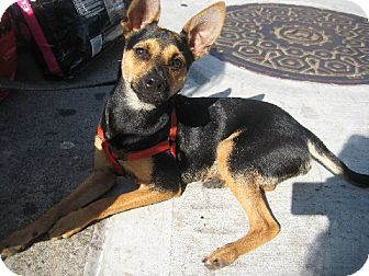 Manchester Terrier/Chihuahua Mix Puppy for adoption in Madison, New Jersey - Herman