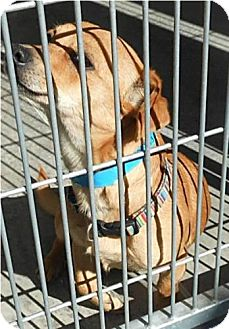 Chihuahua Mix Dog for adoption in Phoenix, Arizona - Benny