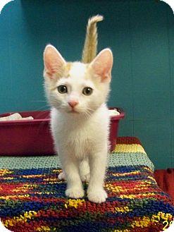 Domestic Shorthair Kitten for adoption in Dover, Ohio - Hopps