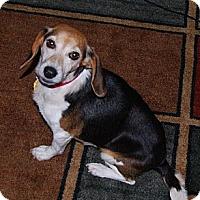 Adopt A Pet :: Idgie - Novi, MI
