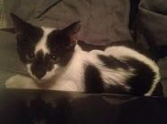 Domestic Shorthair Kitten for adoption in North Plainfield, New Jersey - Olivia