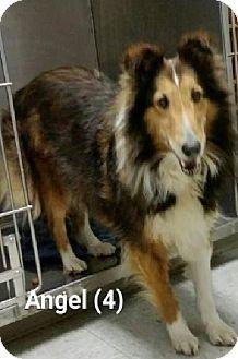 Sheltie, Shetland Sheepdog Dog for adoption in COLUMBUS, Ohio - Angel # 4