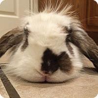 Adopt A Pet :: Shifu - Watauga, TX