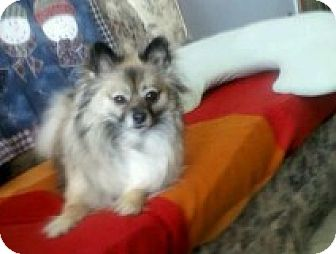 Pomeranian Mix Dog for adoption in Cambridge, Ontario - Riley