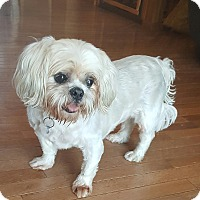Lhasa Apso/Shih Tzu Mix Dog for adoption in House Springs, Missouri - Puddy
