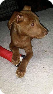 Labrador Retriever Mix Puppy for adoption in Smithtown, New York - Benny