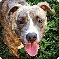 American Staffordshire Terrier Mix Dog for adoption in Jacksonville, Florida - Sophie