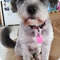 Standard Schnauzer Mix Dog for adoption in Princeton, Minnesota - Kayla