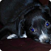 Adopt A Pet :: Ringo-ADOPTION PENDING - Portsmouth, NH