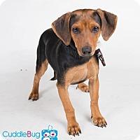 Adopt A Pet :: Ansley - Irving, TX
