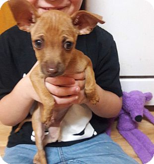 Chihuahua Mix Puppy for adoption in Lacey, Washington - Dobby