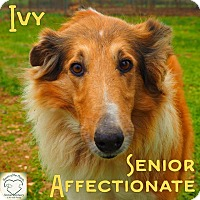 Adopt A Pet :: Ivy - Washburn, MO