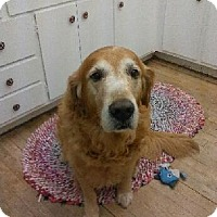 Golden Retriever Dog for adoption in Libertyville, Illinois - Sam