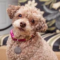 Adopt A Pet :: Cocolette - Malibu, CA
