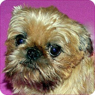 Brussels Griffon Dog for adoption in Burneyville, Oklahoma - ABBY - ADOPTION PENDING