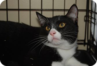 Domestic Shorthair Cat for adoption in Houston, Texas - Myron