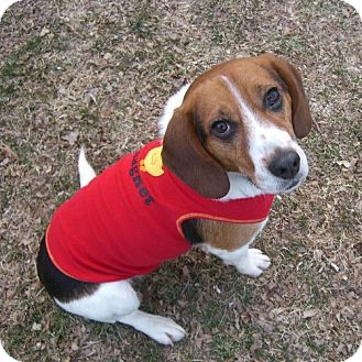 Beagle Dog for adoption in Novi, Michigan - Elmer