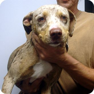 Catahoula Leopard Dog Mix Dog for adoption in baltimore, Maryland - Sunday