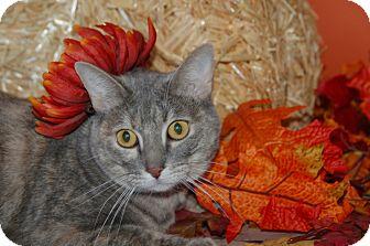 Domestic Shorthair Cat for adoption in Flower Mound, Texas - Midge