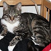 Domestic Shorthair Cat for adoption in Santa Rosa, California - Serenade