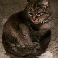 Maine Coon Cat for adoption in Lyndora, Pennsylvania - Jackson