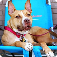 American Pit Bull Terrier/Hound (Unknown Type) Mix Dog for adoption in Brooklyn, New York - Avery