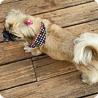 Adopt A Pet :: Shimmer - Matthews, NC