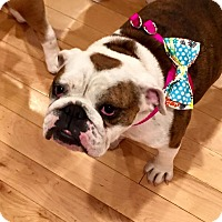 Adopt A Pet :: Lily - Park Ridge, IL