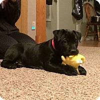 Adopt A Pet :: Harmony Bear - Villa Park, IL