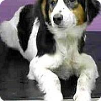 Adopt A Pet :: Emma-ADOPTION PENDING - Boulder, CO