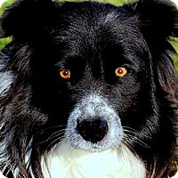 Adopt A Pet :: DOC(GORGEOUS PB BORDER COLLIE! - Wakefield, RI