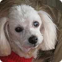 Maltese/Poodle (Miniature) Mix Dog for adoption in Pearisburg, Virginia - Shaggy