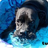 Bullmastiff/Pit Bull Terrier Mix Dog for adoption in Texarkana, Arkansas - Lucy