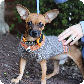 Chihuahua Mix Dog for adoption in Cary, North Carolina - Cosmo