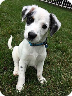 Australian Shepherd/Cattle Dog Mix Puppy for adoption in Sugar Grove, Illinois - Noah