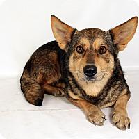 Adopt A Pet :: Sassafrass ShepCorgi - St. Louis, MO
