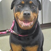 Rottweiler Dog for adoption in Colfax, Illinois - Lucy