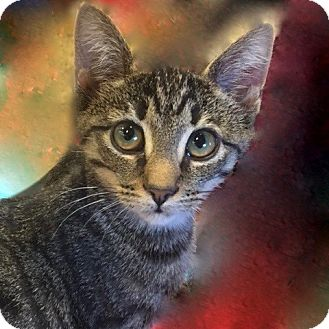 Domestic Shorthair Kitten for adoption in Long Beach, New York - Lila
