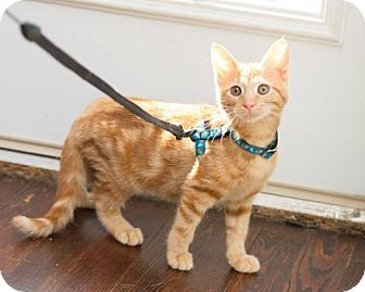 Domestic Shorthair Kitten for adoption in Baltimore, Maryland - Petra