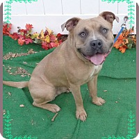 Pit Bull Terrier/American Pit Bull Terrier Mix Dog for adoption in Marietta, Georgia - MILES