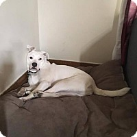 Pit Bull Terrier Mix Dog for adoption in Rochester, New York - Lexi