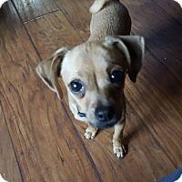 Adopt A Pet :: Darla - Harmony, Glocester, RI