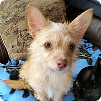 Terrier (Unknown Type, Small) Mix Puppy for adoption in Fort Atkinson, Wisconsin - Wrigley