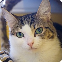 Domestic Shorthair Kitten for adoption in Los Angeles, California - Elephant