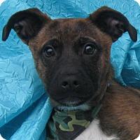 Adopt A Pet :: Benny Lucky Star Watkins - Cuba, NY