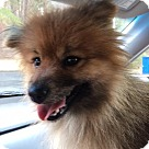 Adopt A Pet :: Shiah