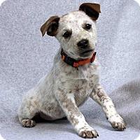 Adopt A Pet :: LAUREN - Westminster, CO